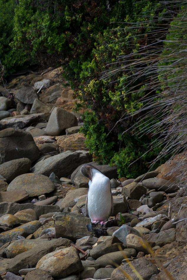 Catlins – Curio Bay – tučňák